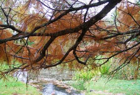 """Taxodium ascendans """"Nutans"""" in our park"""