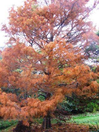 "A blaze of autumn colour on Taxodium ascendans ""Nutans"""