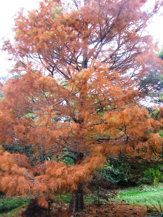"A blaze of autumn colour on Taxodium ascendans ""Nutans"""