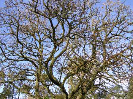 The dominating presence of the original Magnolia Iolanthe