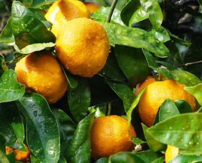 Oranges (or mandarins here) and....