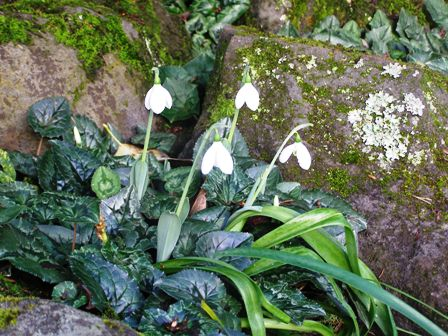 No snow, but we have plenty of snowdrops coming in to flower