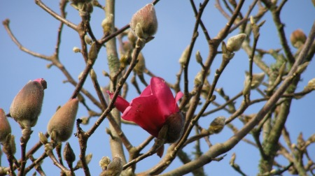 The first blooms on Magnolia Vulcan were hit by hailstones last night