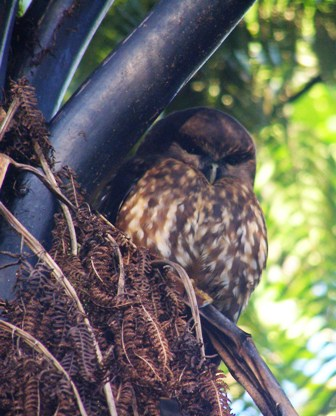 Hedwhig the New Zealand Morepork