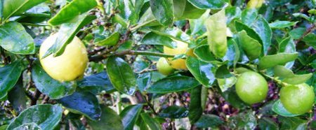 The Tahitian lime - a favoured crop for kitchen use