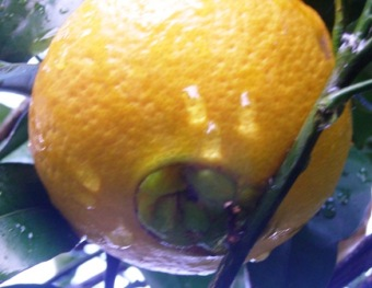 The distinctive navel orange - good eating