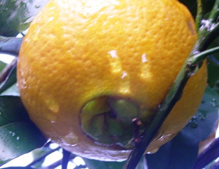 The distinctive navel orange - good eating