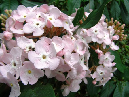 Luculia pinceana Fragrant Cloud