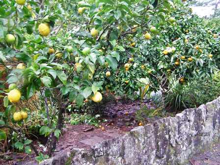 Lemon and mandarin trees beside the driveway