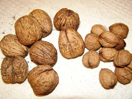 Bigger is better when it comes to walnuts. Standard walnuts to the right, what we think is Freshford Gem to the left