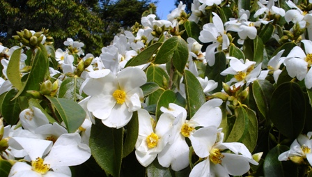 ... and rather a lot of plants of Camellia yuhsienensis looking for forever homes