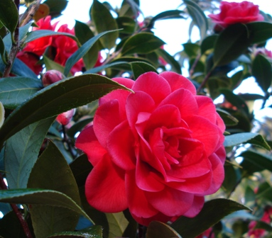 Roma Red - our first new camellia release for a decade