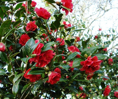 Camellia Roma Red in full bloom