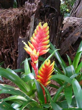 Bromeliads - a vriesea