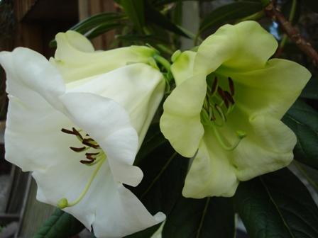 Rhododendron Yvonne Scott