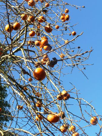 It is persimmons set against the winter sky this week, instead of Magnolia Vulcan