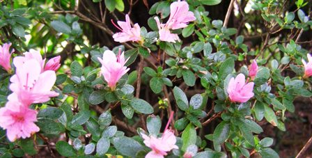 Kurume and Gumpo azaleas - there are also white flowered options for those with refined tastes