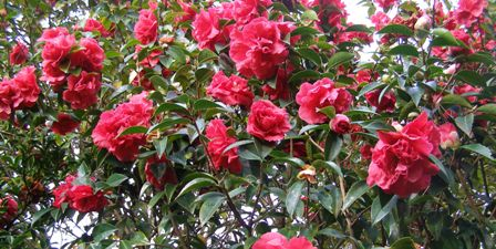 The reticulata camellias are in full bloom