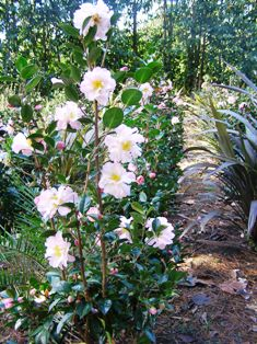 Camellia Apple Blossom Sun - one of the field grown hedging options we have available here at the moment