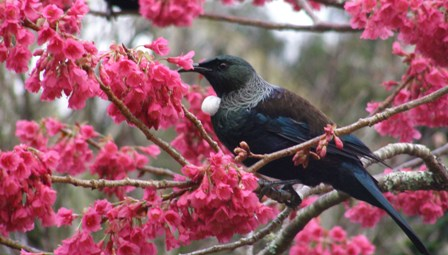 It took many attempts to capture the tui in the campanulata cherry