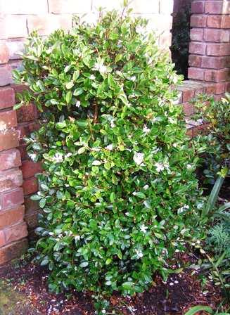 Camellia brevistyla
