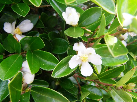 Camellia hedging options - C. brevistyla