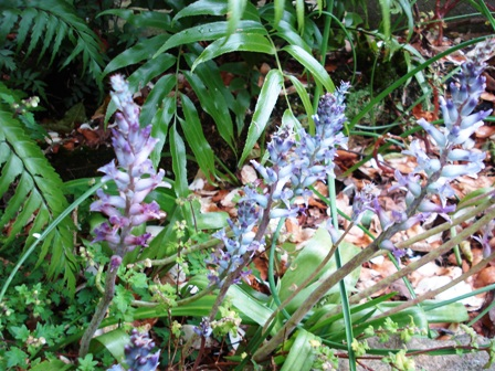 The lovely blue Lachenalia glaucina