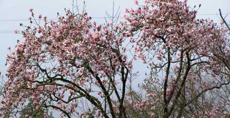 Magnolia sargentiana robusta came through last week's winter unscathed