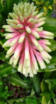 """Veltheimia bracteata """"Rosalba"""""""