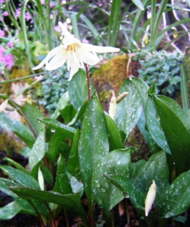 The dainty delight of the erythronium