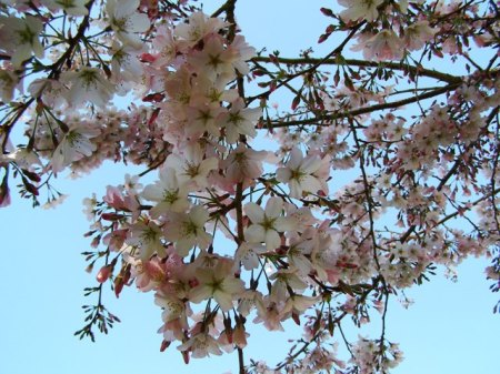 If you will only grow evergreen plants, you miss out on seasonal delights like Prunus Awanui in flower