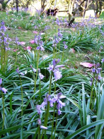 Managed drifts of bluebells