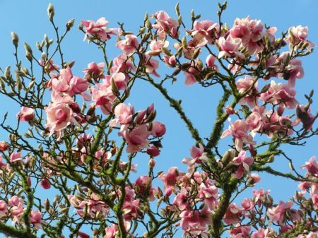 Magnolia Athene in our park this week
