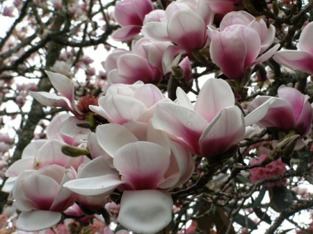 Magnolia Athene in her glory