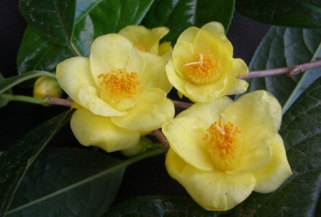 Indisputably yellow - Camellia chrysantha