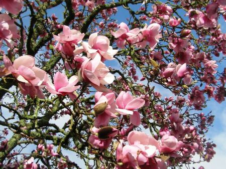 Magnolia Iolanthe in all her magnificence this week