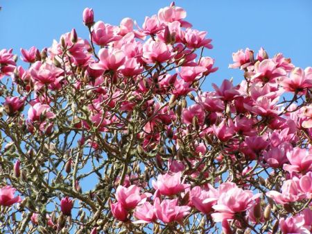 The pink puffery of Magnolia Serene