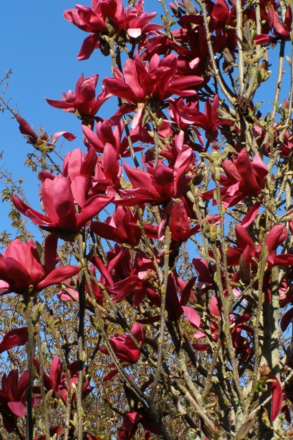 Magnolia Burgundy Star - a good choice where space is very limited