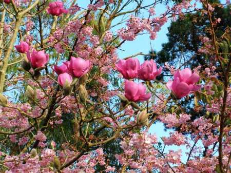 Prunus Te Mara and a seedling magnolia in our carpark area