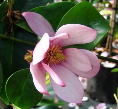 Indubitably very pink this season - Fairy Magnolia Blush