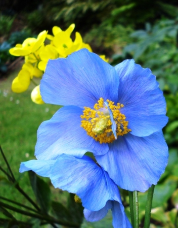Mark's meconopsis available again
