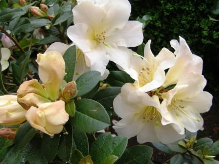 "Rhododendron johnstoneanum ""Ken Burns"""