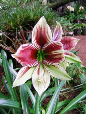 How curious is Hippeastrum papilio?