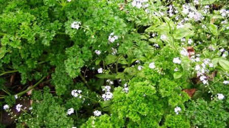 The parsley patch - naturalising nicely with the pretty but weedy forget-me-nots