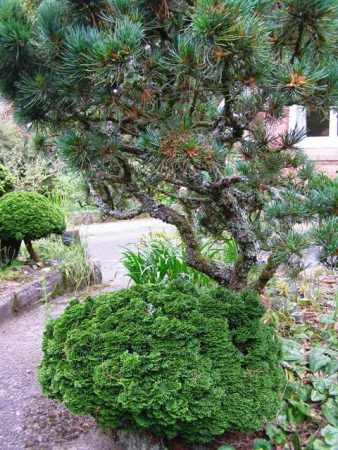 Predicting the Return of the Conifer