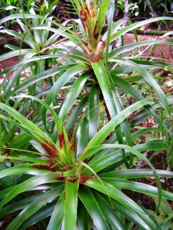 The particularly curious Dracophyllum latifolium
