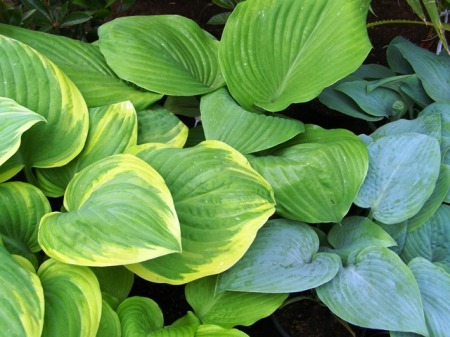 Planting out hostas now