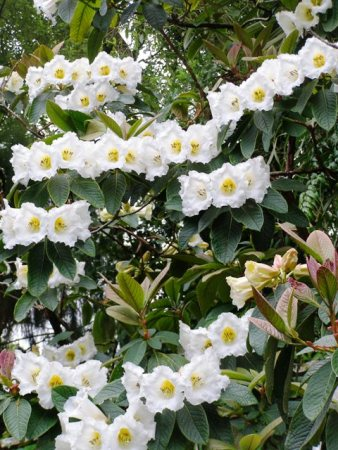 I will take Rhododendron nuttallii any time