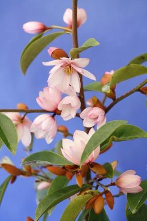 Fairy Magnolia Blush - Mark Jury's pink michelia