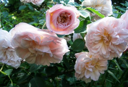 There is something undeniably romantic about Rosa Cymbeline